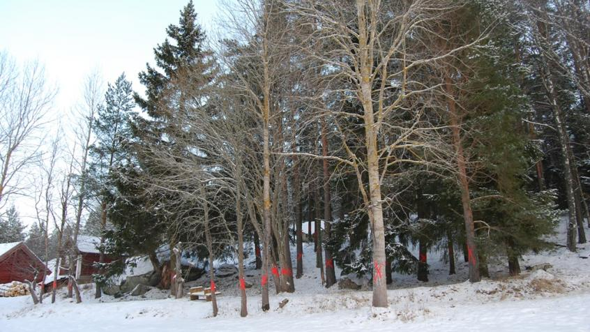 Här är träden innan fällning. Kunden har tydligt markerat upp vilka som ska fällas med röda kryss.