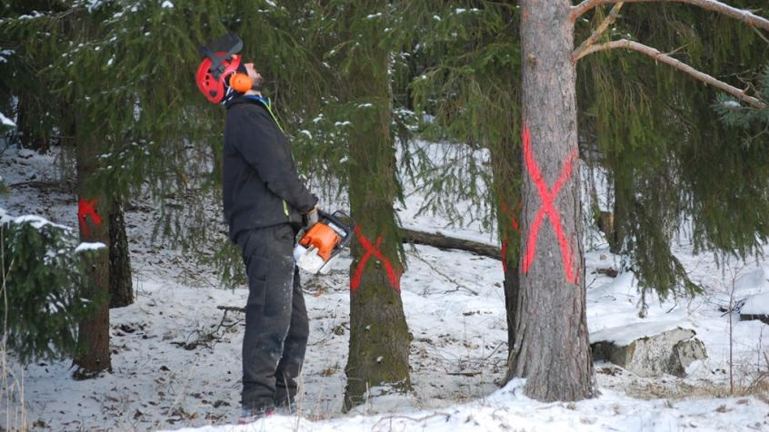 Vår trädfällare Miron bedömer trädet inför fällning