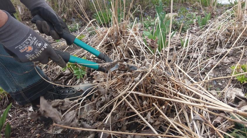 Här är det höstanemoner som vi klipper ned och rensar fram.