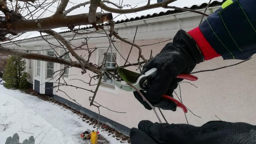 Beskärning av äppelträd är lättast på vårvintern, man ser alla grenar och kan göra ett bättre jobb. Och det går snabbare.