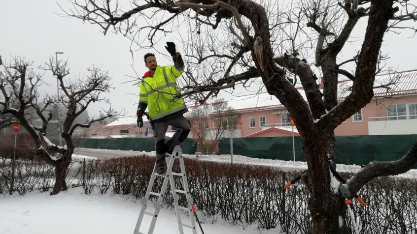 Yacob uppflugen på en stege för att ta sig an en del av trädet.