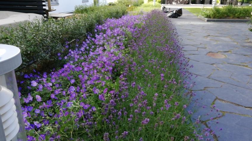Geranium och Lavendel blommar samtidigt