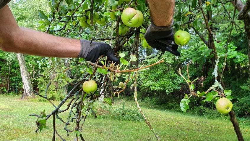 Anders klipper bort döda grenar och håller efter äppelträden