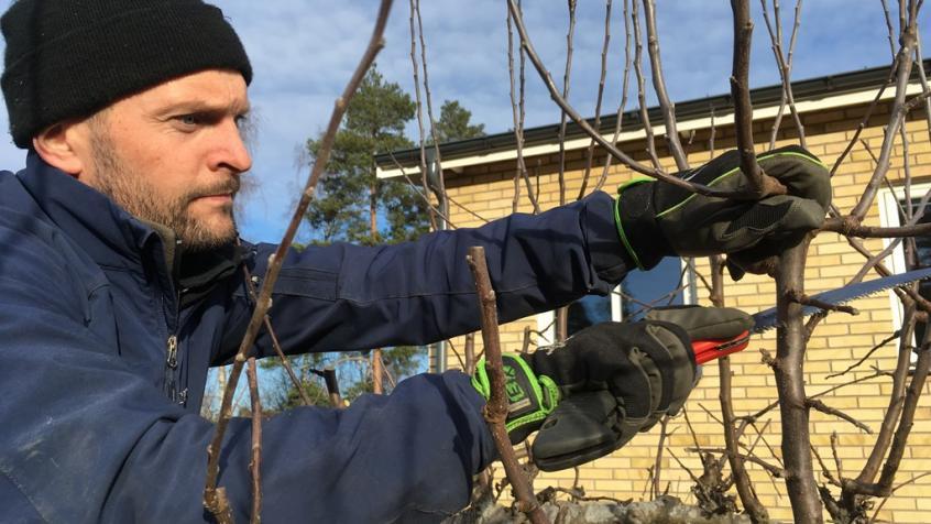Jakob beskär äppelträdet och använder handsåg för att ta hand om de lite grövre grenarna.