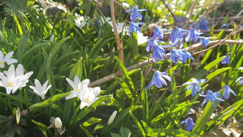 Scilla och Vitsippor blommade vackert i vårsolen.