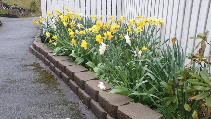 Påskliljorna står i blom