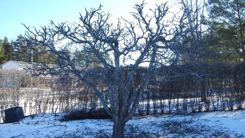 Här är det första äppelträdet färdigbeskuret.