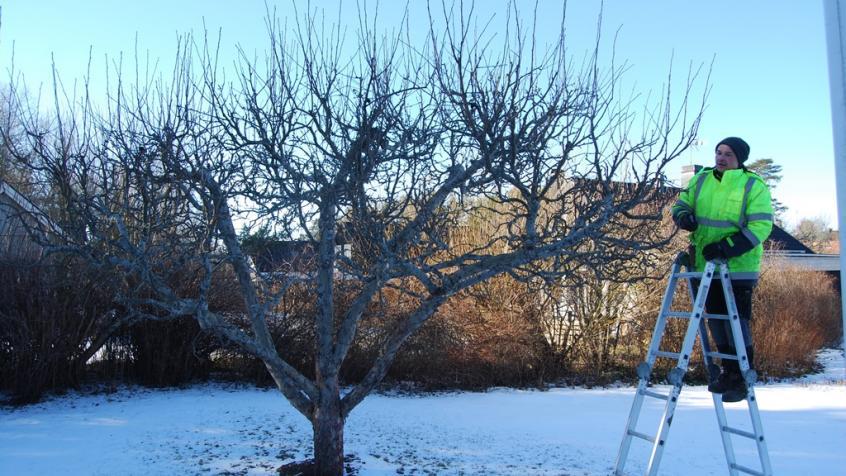 Piotr har börjat med nästa träd.