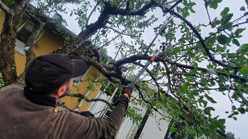 Trädbeskärning av 2 normalstora men vildvuxna äppelträd i Sigtuna