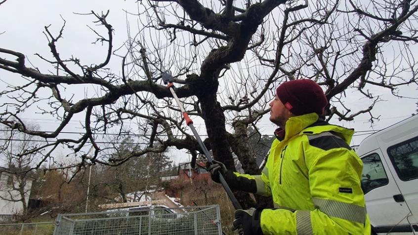 Vi tar hand om dessa stor gamla träd årligen.