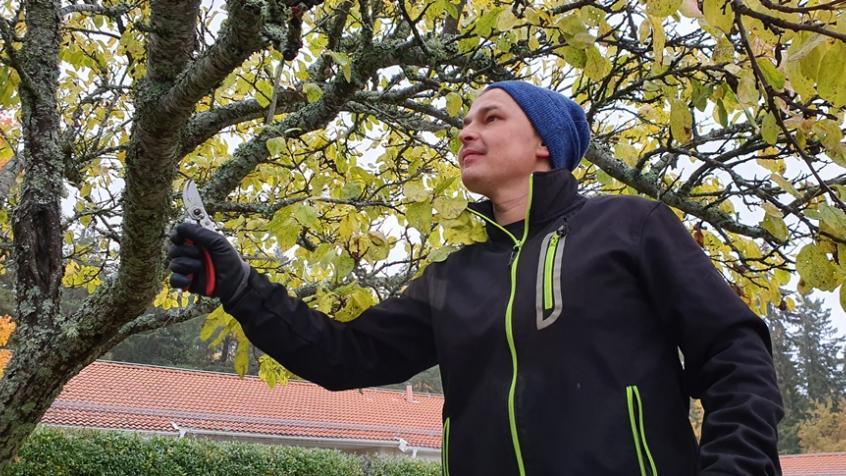 Piotr beskär plommonträdet och skapar balans i kronan.