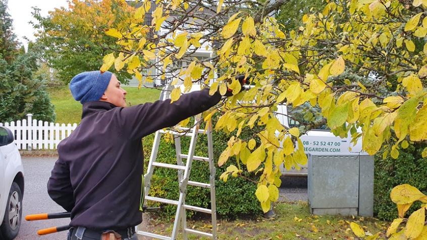 Plommon och körsbär beskär vi endast på höstarna under perioden augusti - oktober.