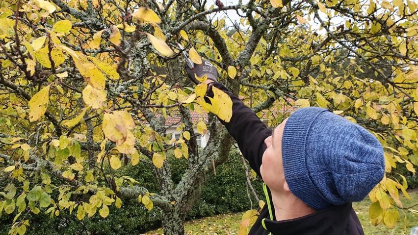 Plommonträdet hade tappat de flesta frukterna som ej plockats av.
