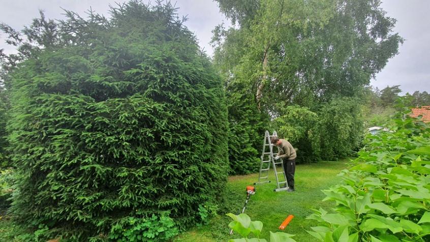 Trädet hade redan innan en bra grundform och är tät, men årsskotten behövde putsas av.