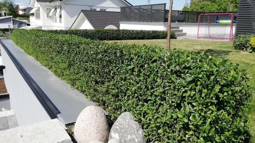 Den låga ligusterhäcken gavs en uppbyggnadsbeskärning så att den skall växa till sig på rätt sätt och förbli tät ända nerifrån marken.