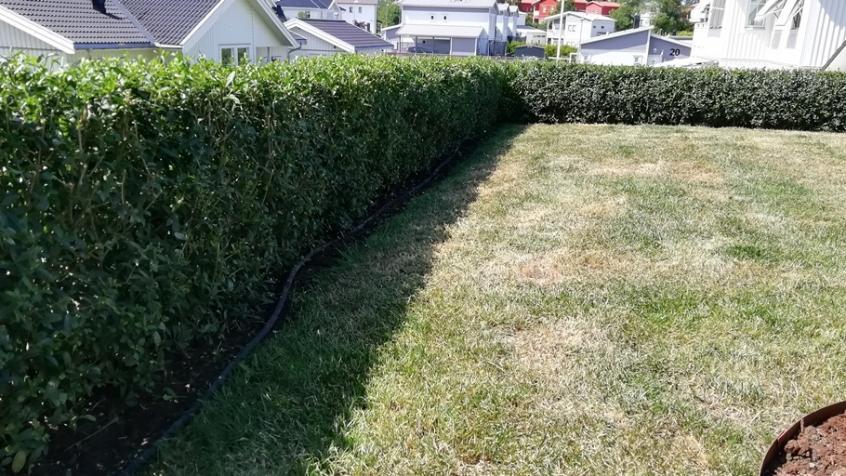 Kunden har lagt ut droppslang för bevattningen vilket är bra för att få en nyplanterad häck att växa till sig.