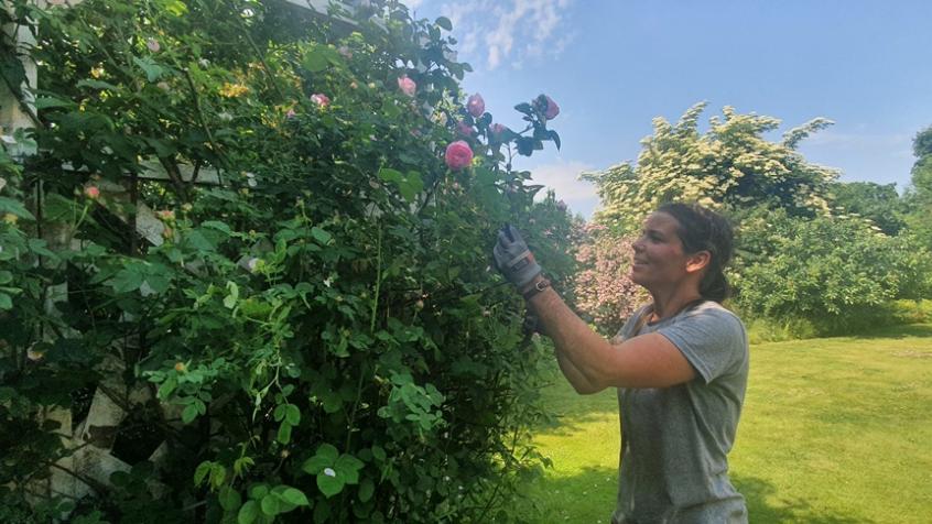 Kundne hade också rosor på baksidan som behövde beskäras tillbaka.