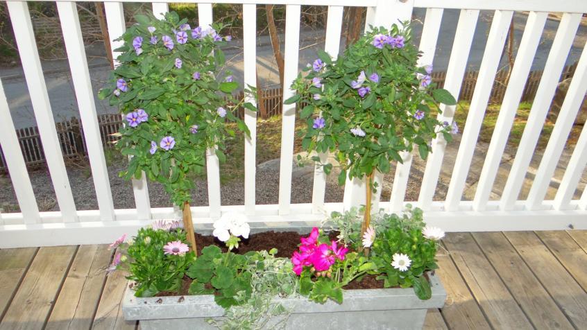 Blommorna på plats. Vi har valt sorter som kommer att blomma hela sommaren.