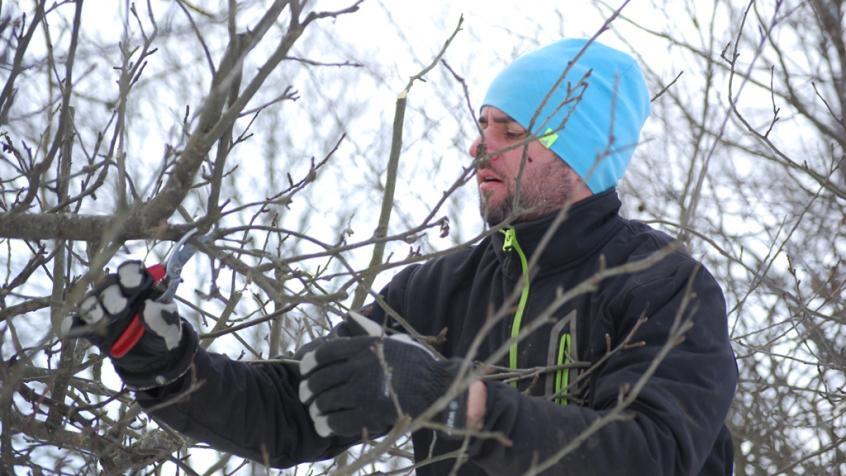 Miron beskär ett av äppelträden.