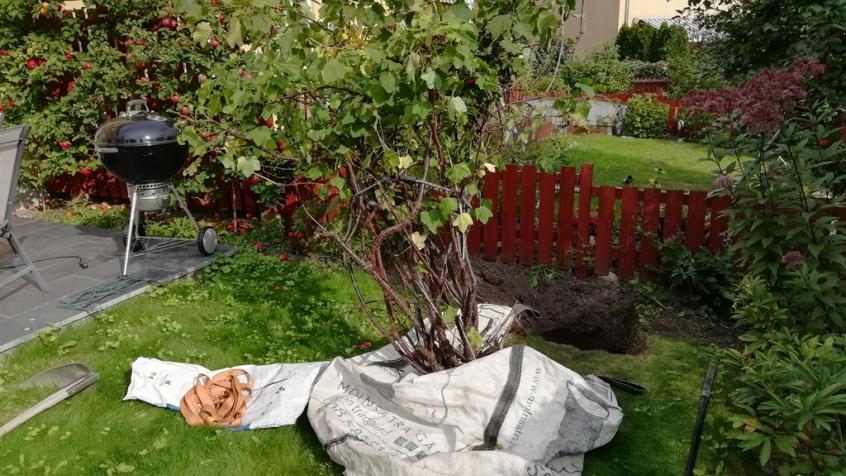 Här är vinbärsbusken uppgrävd och framdragen i en storsäck.
