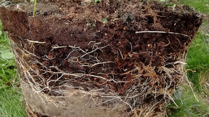 Den färdiga häcken var krukodlad. Här ser vi att i krukorna finns ett lerlager som gör att buskarna klarar transport bra då leran håller fukt länge.