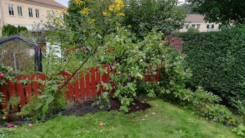 Planterad på dess nya plats - nu är det bara att hoppas att den tar sig.