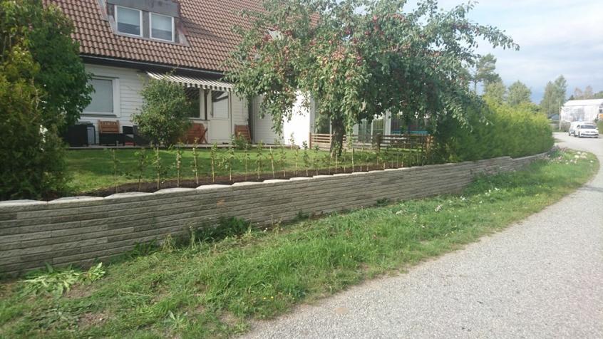 Avenbokshäcken planterad och klar! Om 2 år är den minst dubbelt så hög.