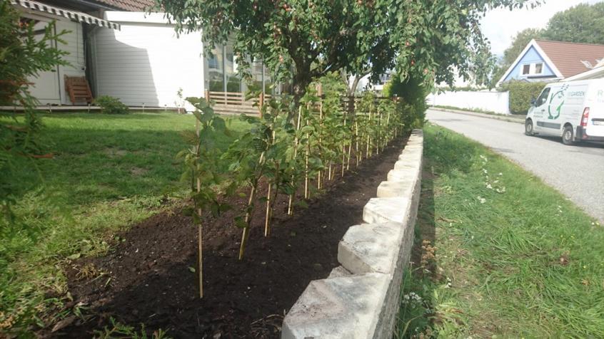 Här är häckplantorna på plats. Vi använde krukodlade plantor.