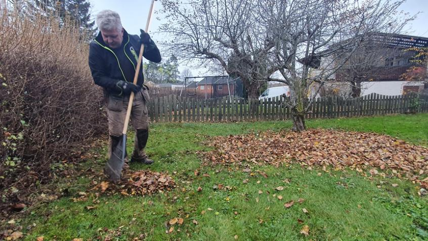Stefan räfsar löv från häcken men lämnar lite för att skydda plantorna