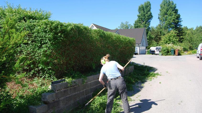 Lovisa tar hand om grenar och kvistar och lämnar kunden med en nyklippt Liguster