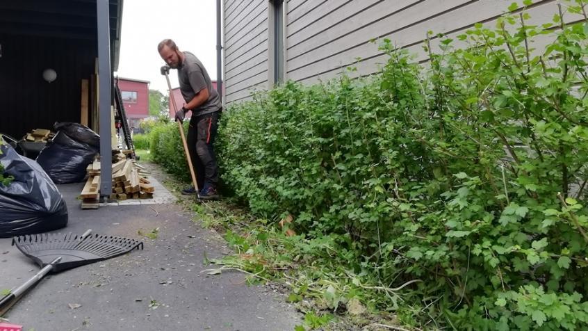Rensning av ogräs under måbärshäcken.