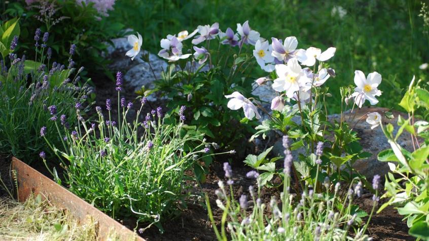 Den vita trädgårdsanemonen blommar fantastiskt rikligt och vackert.