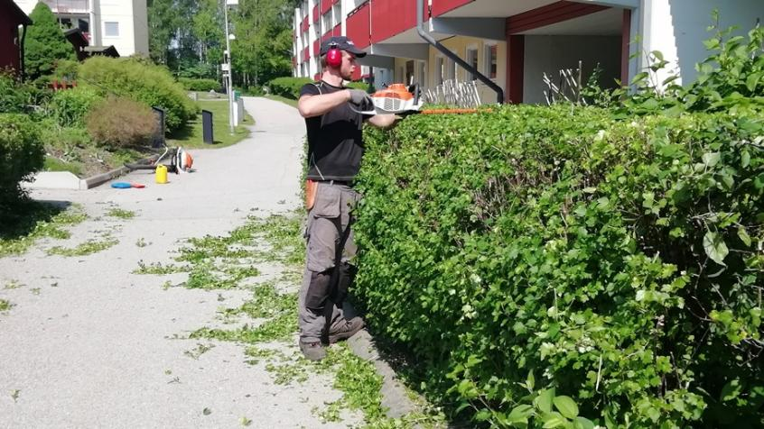 Albin klipper toppen på en bred häck som växer längs husfasaden.