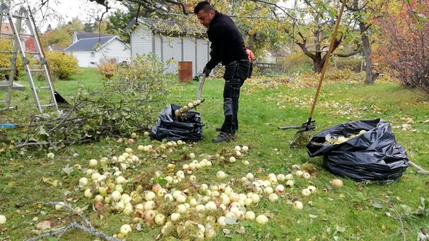 Liksom i många andra trädgårdar har den rikliga skörden i år gjort att vi fått köra mycket fallfrukt till tippen.