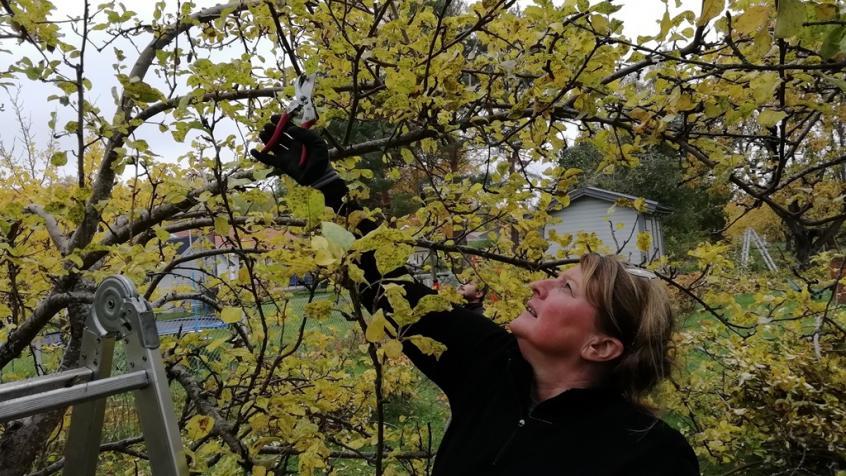 Tina beskär ett av de mindre men ändå äldre träden på tomten.
