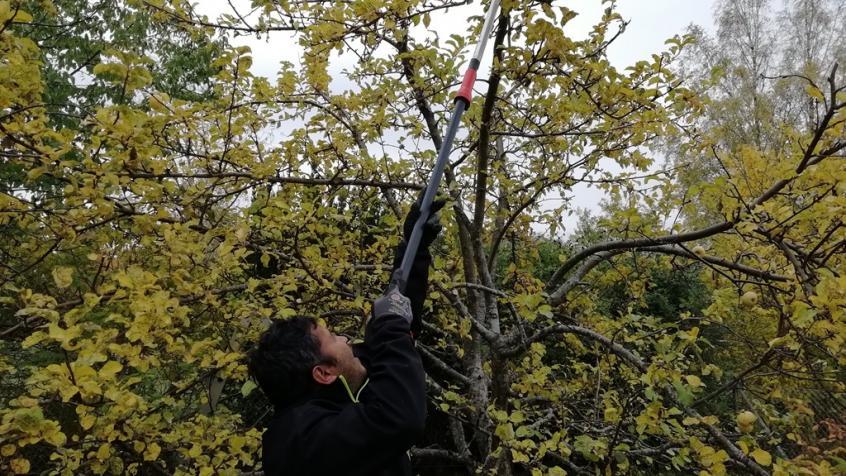 Anil använder stångsax för att enkelt och effektivt kunna beskära trädkronan.