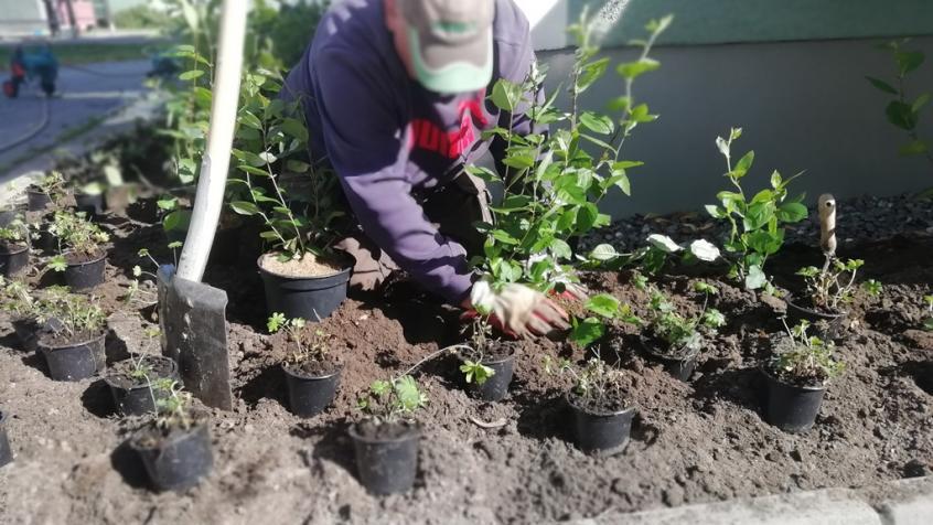 Plantering av Aronia längs fasaden.