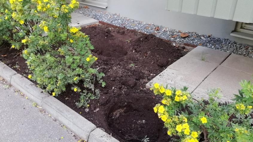 Givetvis har vi förberett och grävt hål där vi skall plantera buskar vi flyttar