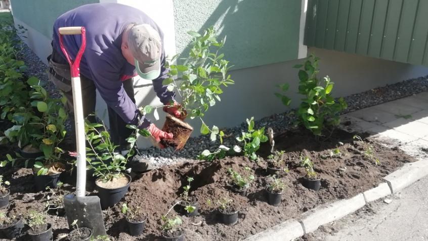 Peter vrider upp rotsystemet på de krukodlade växterna så att vi undviker rotsnurr när plantan kommer i marken.