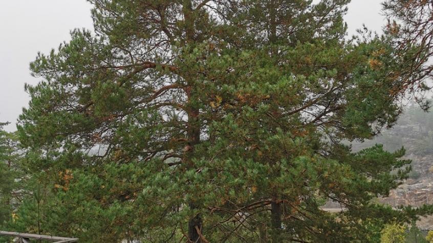 Trädet innan fällning - Miron inspekterar innan fällningen.