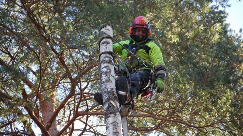 Nu återstår att klättra nedåt och såga av stammen bit för bit.