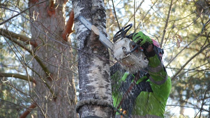 Miron sågar av grenar vartefter han klättrar upp