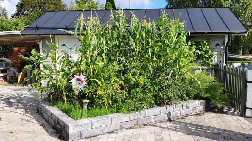 Majs och tomater samplanterade