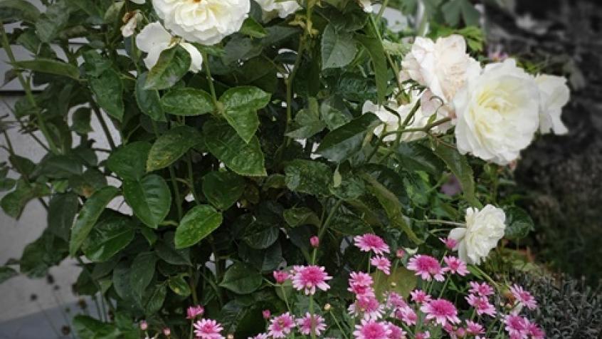 Vita rosor blommade vackert mot den grå fasaden