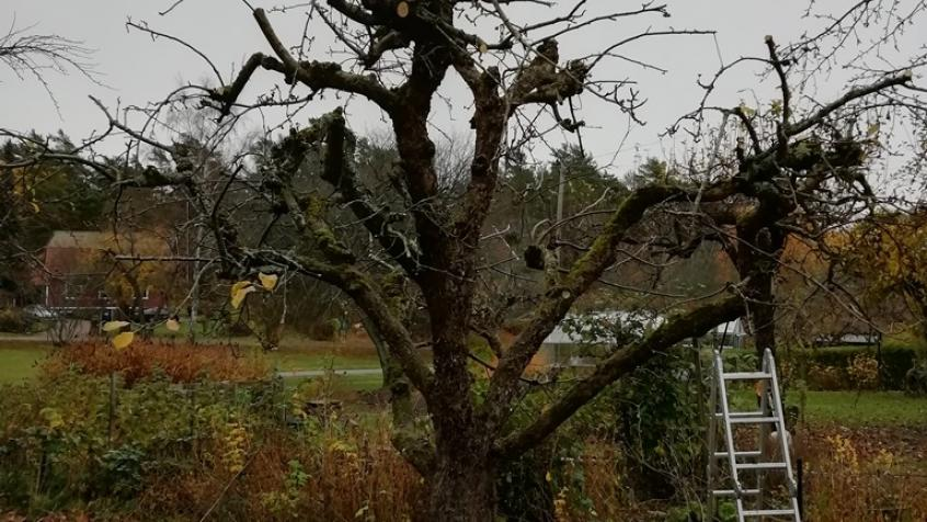 Äppelträd efter beskärning