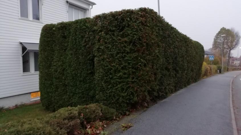 Resultatet blev ändå bra och thujahäcken är nu rakt och fint putsad och sticker inte ut över trottoaren längre. Den här häcken är ett bra exempel på en thuja brabant som växt ihop och skapar en grön vägg och insynsskydd.