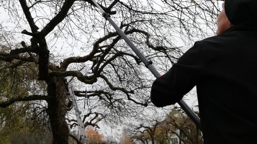 Beskärning av äppelträd i Sigtuna