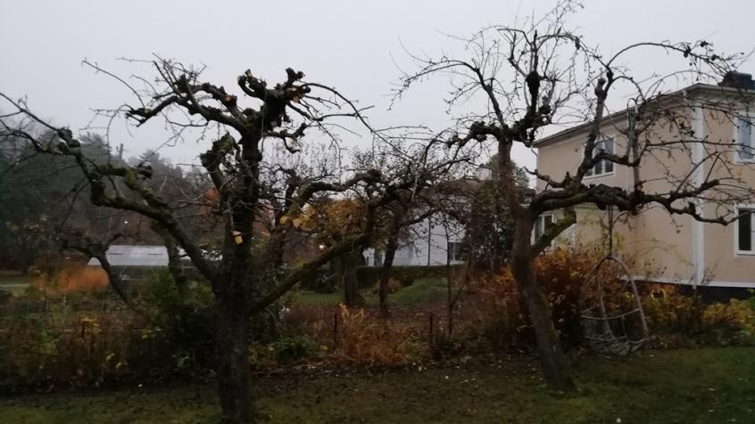 Äppelträd till vänster och päron till höger.