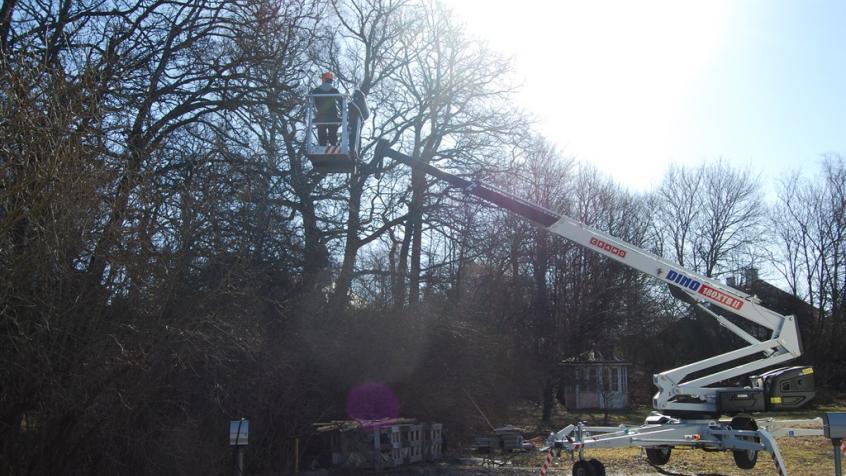 Ett av kundens stora lövträd skulle beskäras och det krävdes skylift för att göra jobbet.