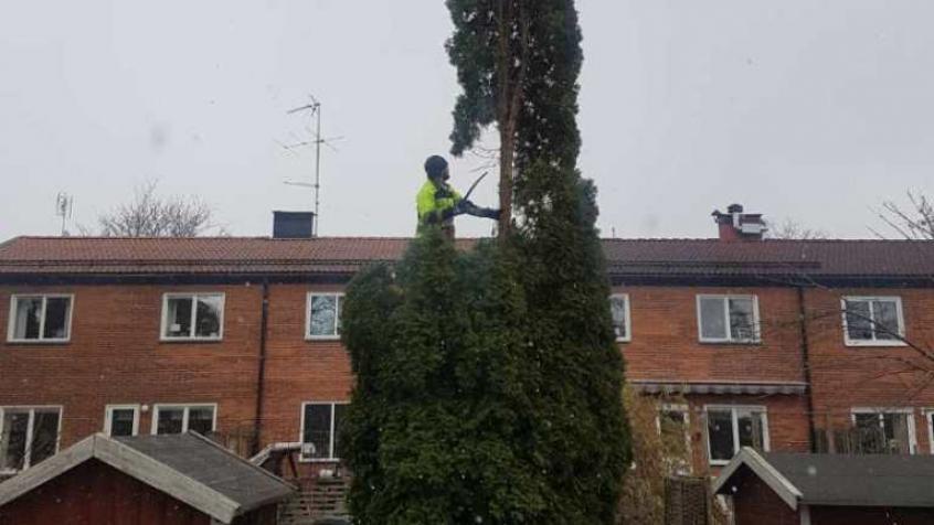 Nikola har klättrat upp i thujan för att kapa toppen först.